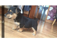 Beautiful chalkie puppies chihuahua X Yorkshire terrier