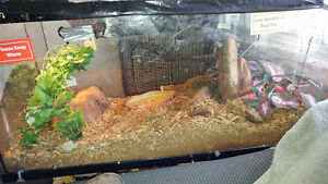 2 Corn snakes/ Terrarium/ Water bowl/Heat lamps etc