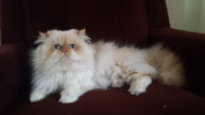 ☆☆☆ Gorgeous Himalayan Cat ☆☆☆
