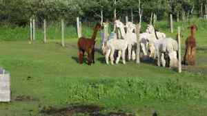 Alpacas/Need pasture space. Regina Regina Area image 1