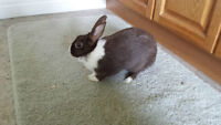 FREE Female Dwarf Rabbit to a Good Home!