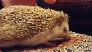 Temporary Home Needed for Cute Hedgehog