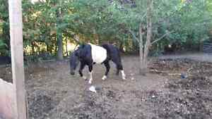 Black and white paint horse for sale