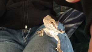 Baby bearded dragon with full set up
