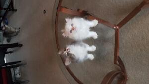 Beautiful doll face Persian kittens