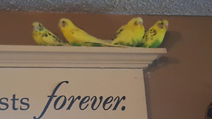 4 Budgies With Brand New Cage