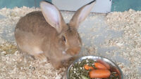 Flemish Giant Bunnies 2 males