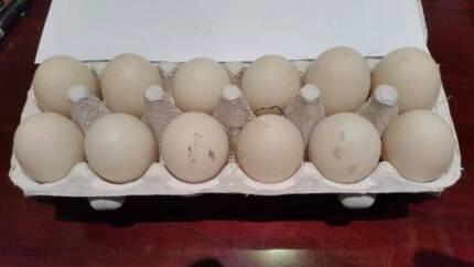 One Dozen Free Range Duck Eggs Greensborough Banyule Area Preview