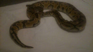 male (pastel special) ball python for sale read entire add