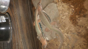 Giant butterfly agamas