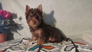 chiot male brun yorkshire