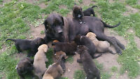 Saint Mastiff puppies available!