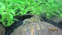 Freshwater aquarium Mini Blue Crayfish(Cambarellus Diminitus)