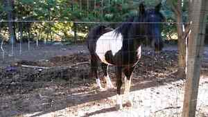 Black and white paint horse for sale Peterborough Peterborough Area image 2