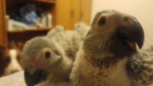 Hand raised African greys