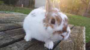 Sweet Small & Friendly Male Netherland Dwarf Rabbit