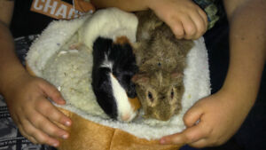 Two Friendly Guinea Pigs, Cage and accessories