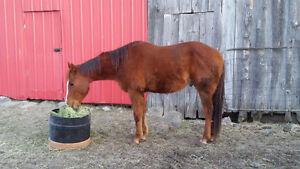 5 year old green gelding