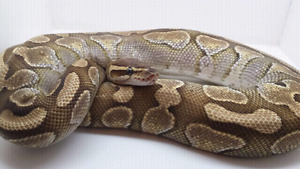 Male ball pythons for sale