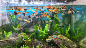 Colourful Guppies and Neon Tetra