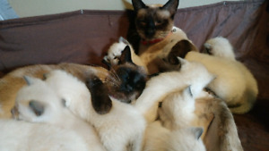 Kittens, Seal Point Siamese
