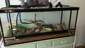 REDUCED TO SELL!  TWO BALL PYTHON SNAKES AND EVERYTHING NEEDED