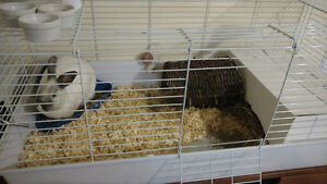 Selling A Polish Dwarf Bunny! +Accesories, Cage and Food!