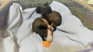 Skinny Pigs available to Loving homes