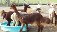 Pet stock and breeding female alpacas for sale