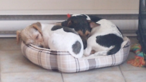 Male Jack Russel Puppy And Female Parson Russell Terrier