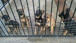 Beautiful German Shepherd puppies ready to go - $800.