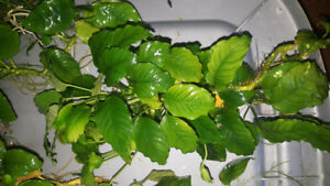 Anubias aquarium plants for sale or trade