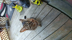 Found Male Cat - Brown Tabby Shorthair
