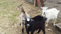 Gorgeous breeding male Pygmy goat for sale