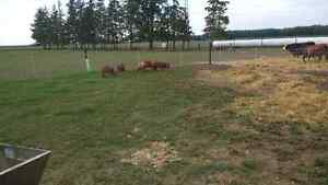 Pasture raised heritage pork London Ontario image 3