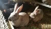 7 Adorable young rabbits for sale - 2 months old, $15 each