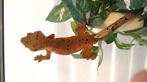 6 Months Super Red Super Dalmatian Crested Gecko !