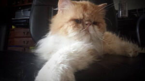 CCA Registered Purebred Male Persian(CPC)  3 Years Old