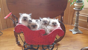 4 Himalayan Kittens For Sale