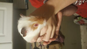 1 guinea pig baby available