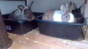 Lionhead Lop Female looking for new home