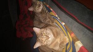 2 chattes opéré dégriffés