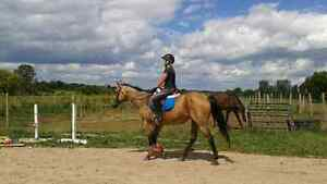 Qh gelding available for part board  London Ontario image 1