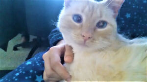 Friendly Flame Point Siamese Male Cat comes with accessories.