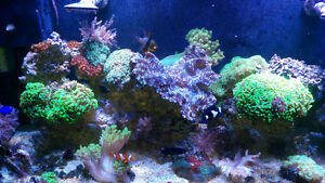 Saltwater corals, liverock and reef sand for sale Cambridge Kitchener Area image 2