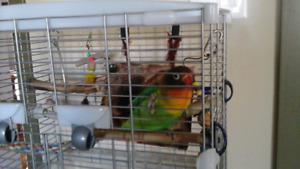 Oiseau (Inséparable) avec cage