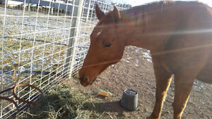 QH/Arabian mare for sale *PRICE REDUCED!!* Great deal!! Strathcona County Edmonton Area image 4