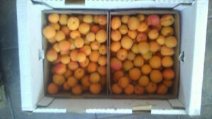 Local Apricots