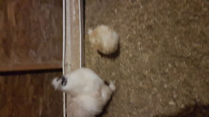 Silkie hens and roosters