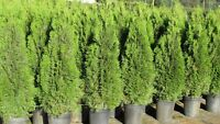 Buyer Direct Top Quality Container (Pot) grown Hedging Cedars
